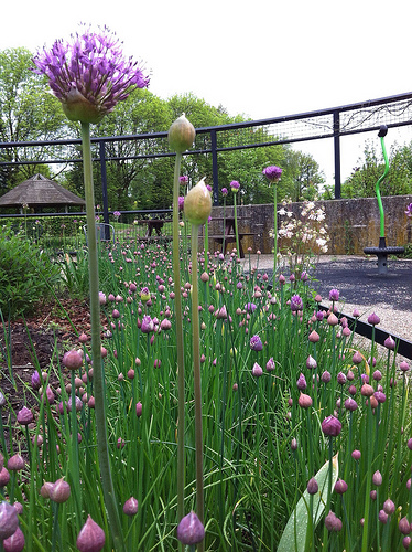 Bieslook en allium in de kruidencirkel