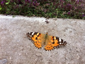 Wie weet welke vlinder dit is?