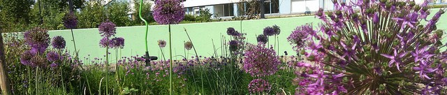 alliums in bloei