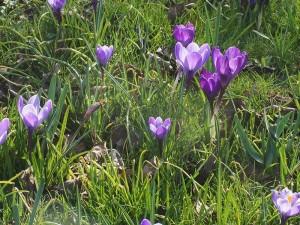 Paarse en lila crocussen