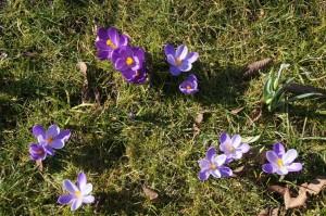 De krokussen luiden het voorjaar in.